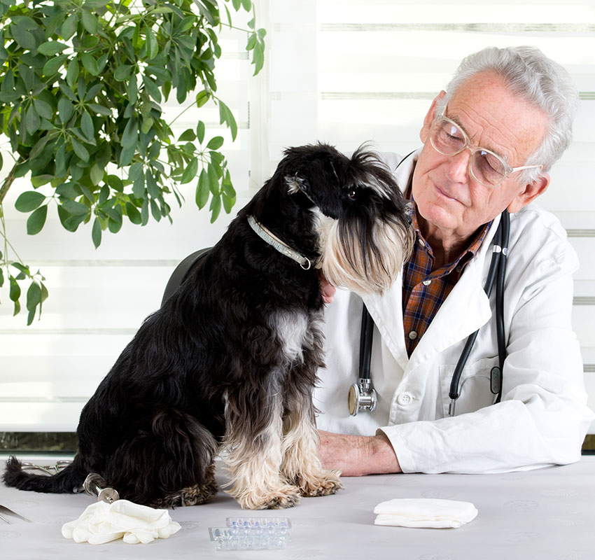 Miniature schnauzer sitting on table in senior veterinarian infirmary